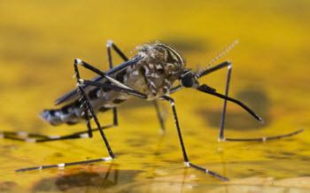 gula febern mygga